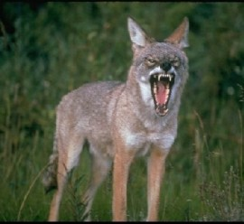 The villain of the story, the  coyote