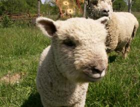 Baby doll sheep, smaller is better.