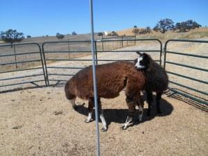 Dlly Llama and son, Salvador Dali Llama.